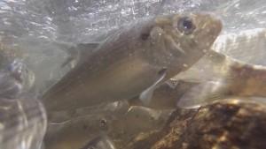 river herring cape cod